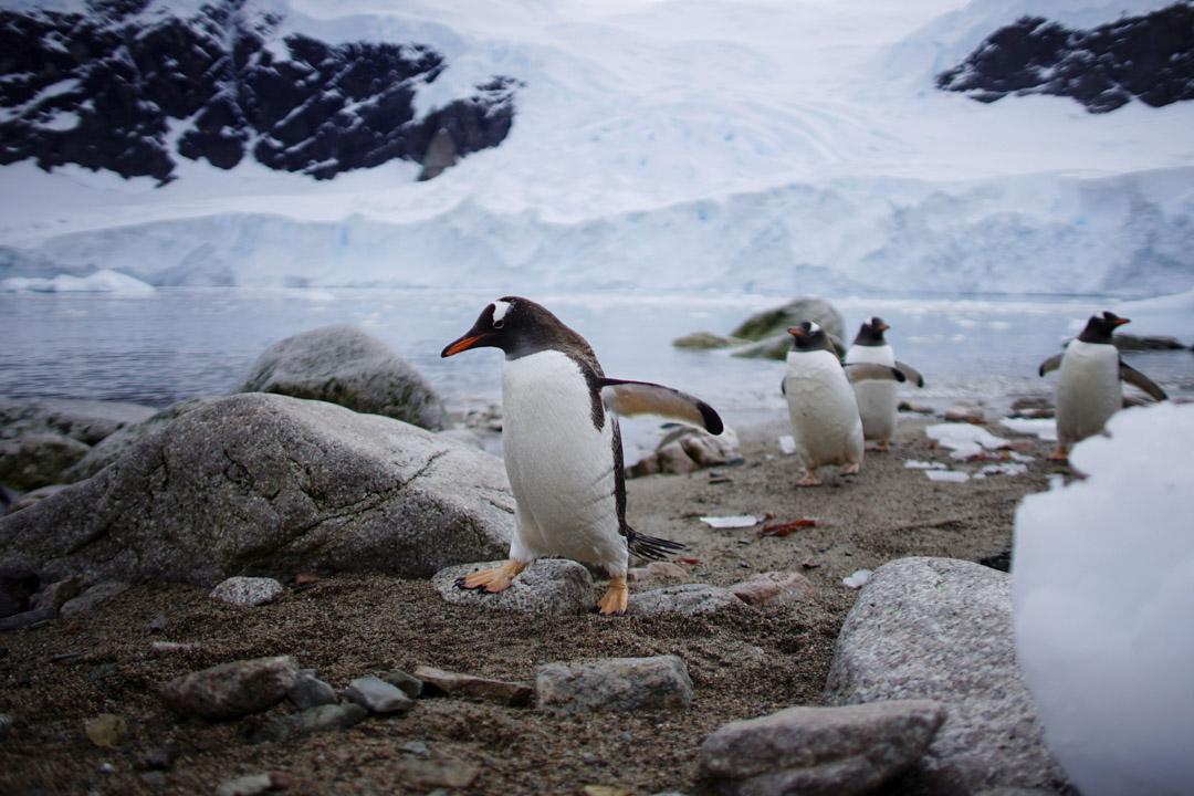 2018年2月16日,企鵝在南極洲的尼科海港上岸。 攝:Alexandre Meneghini/Reuters/達志影像