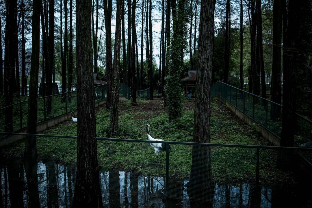 武漢動物園,疫情期間暫停開放,丹頂鶴在散步。