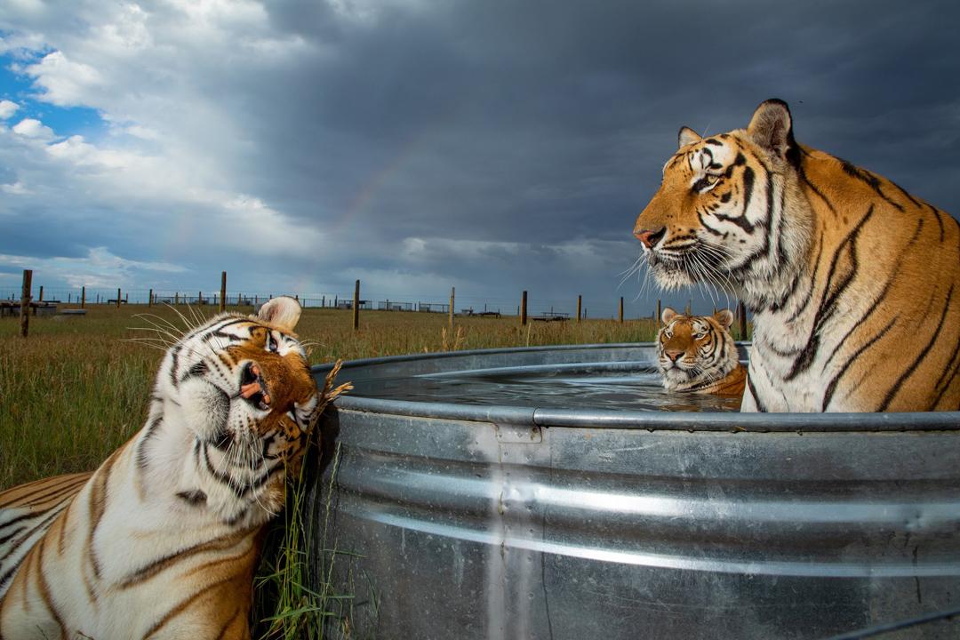 2019年7月14日,美國科羅拉多州金斯堡的野生動物保護區,三隻老虎正在水池休息。