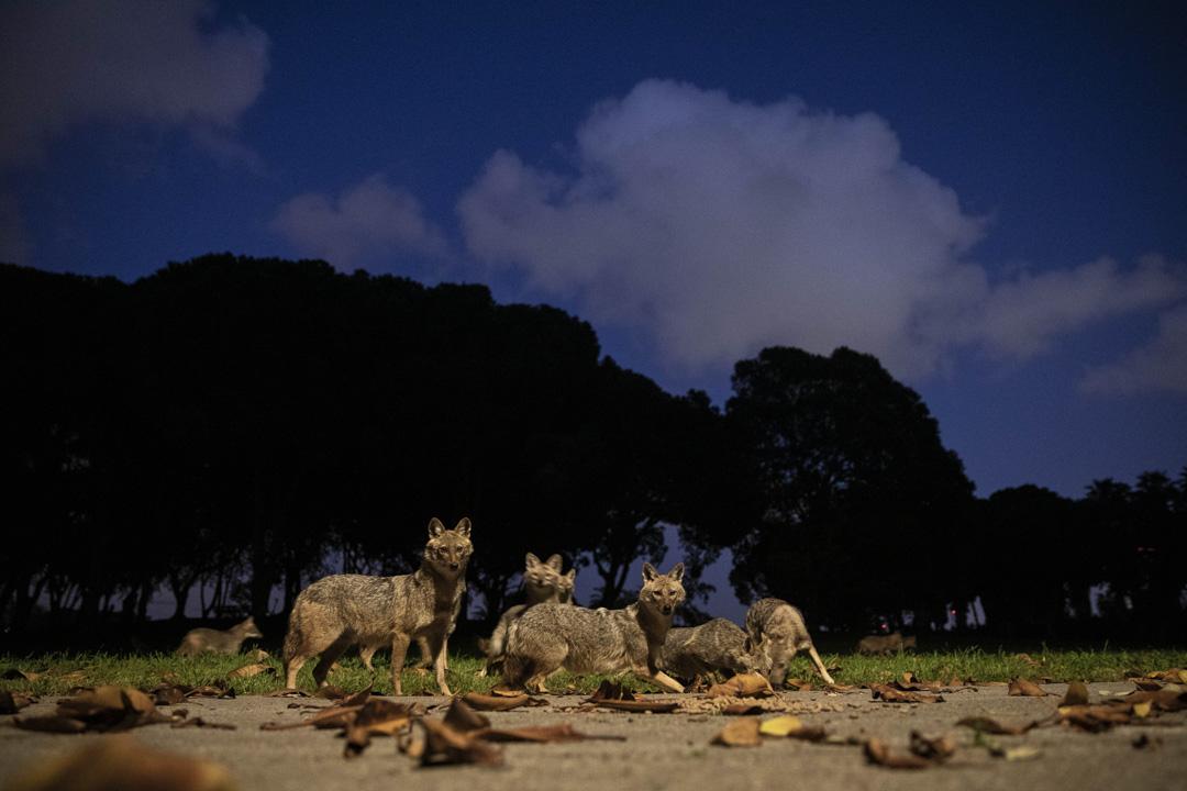 2020年4月11日以色列特拉維夫的公園,狼吃著一個女人留下的狗糧。