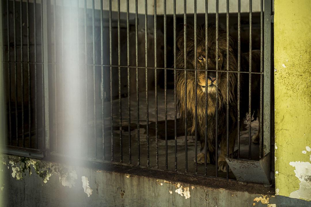 武漢動物園,疫情期間暫停開放,獅子望向籠外。