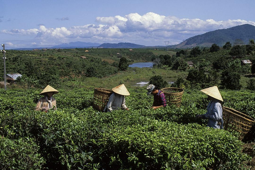越南寶祿附近的茶園,人們在採茶。 攝:Wolfgang Kaehler/LightRocket via Getty Images