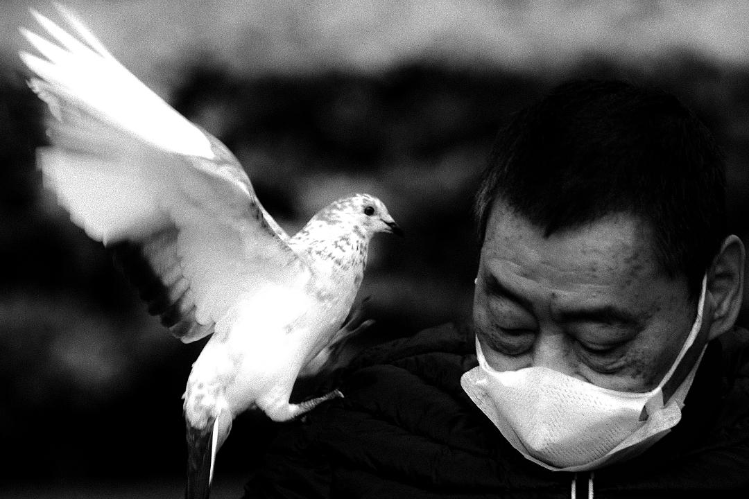 2020年4月7日台北,醫院外的小公園內一隻白鴿飛上一名老人的肩膀。