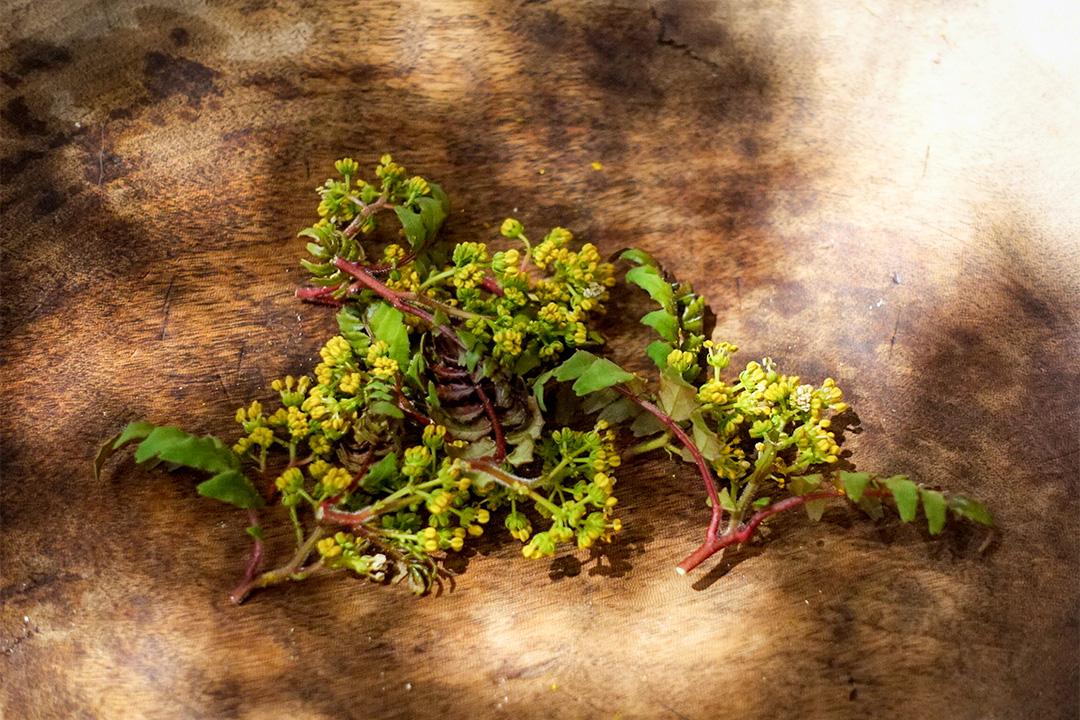 山椒花,每年只有一個星期能吃到的美味。