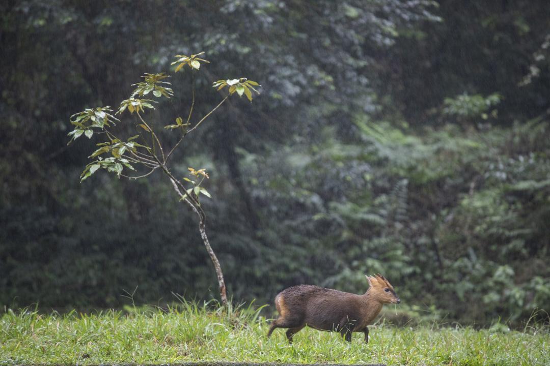 拜訪過福山的遊人們,總會津津樂道在園內親眼目睹過多少動物:山羌是基本必備款,這種台灣最小的鹿科動物素以膽小聞名,在福山卻擔當起迎賓使者,在距離人類五公尺處悠悠哉哉上演啃草秀。