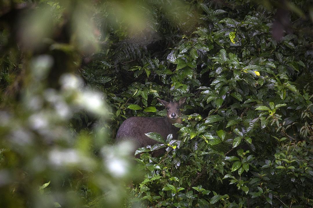 福山植物園發現的長鬃山羊。