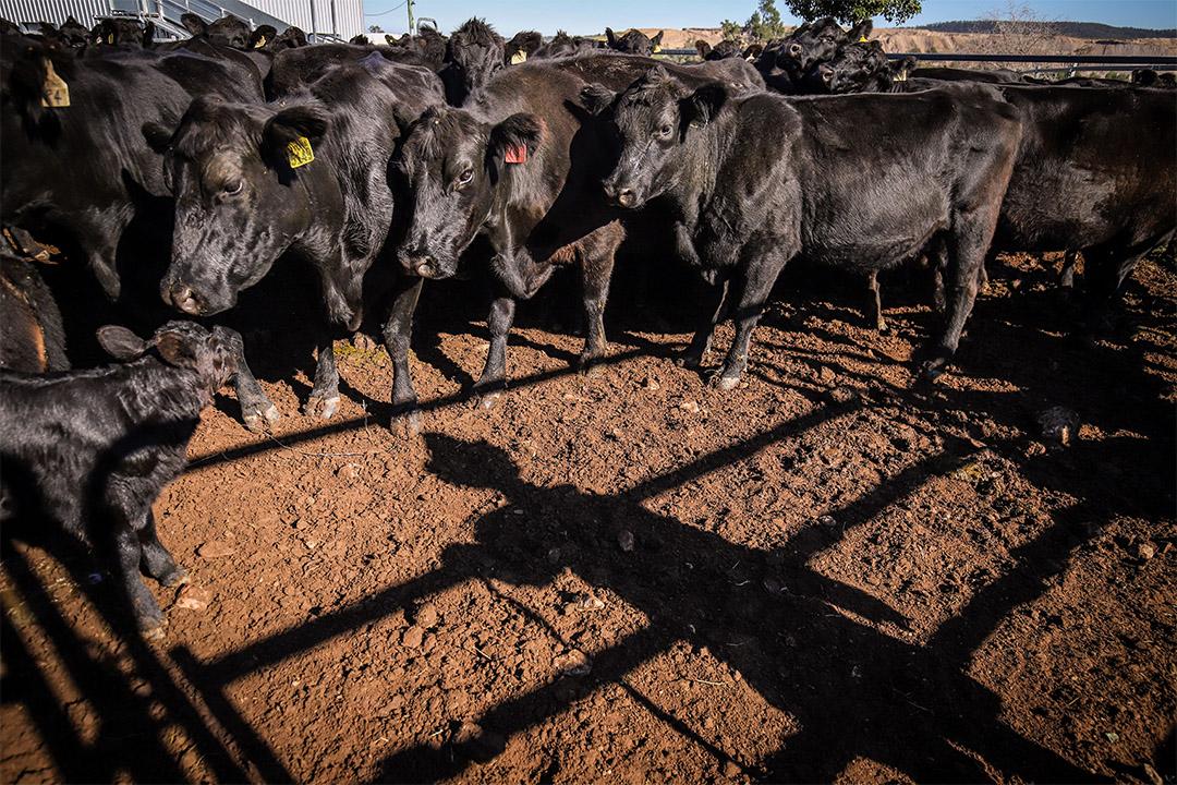 2020年5月29日澳洲,一名農民在澳洲新南威爾士州岡尼達的一個農場工作。