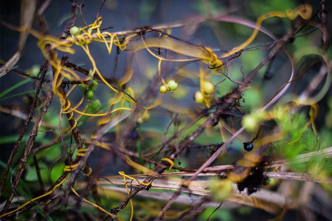 這不是列當,而是一種名為「無根藤」的植物,雖屬樟科,型態卻和我們熟悉的樟樹大異其趣。