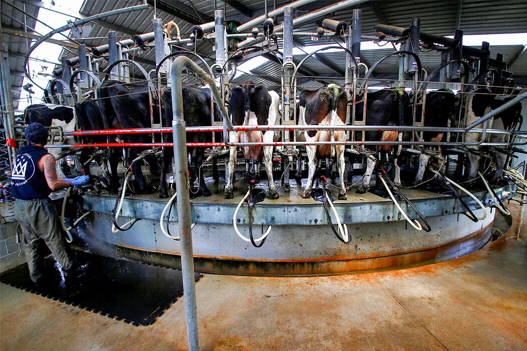 2016年11月17日澳洲,一間乳製品廠坐落史密斯頓鎮,一名工人在擠奶棚的機器旁。 攝:David Gray/Reuters/達志影像