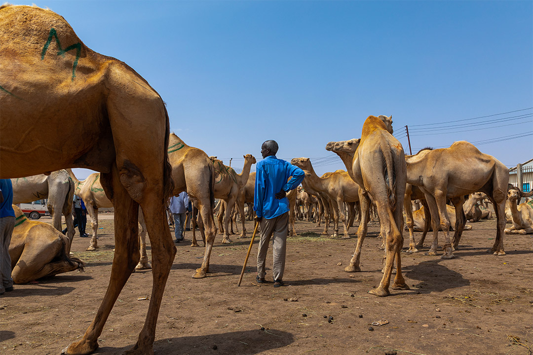 2019年8月5日,索馬利蘭人在駱駝市場。