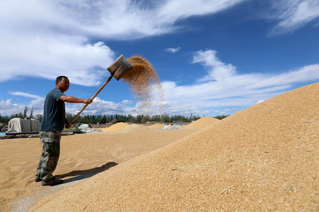 2020年7月7日,中國新疆雙河市農民翻曬小麥。 攝:Getty Images
