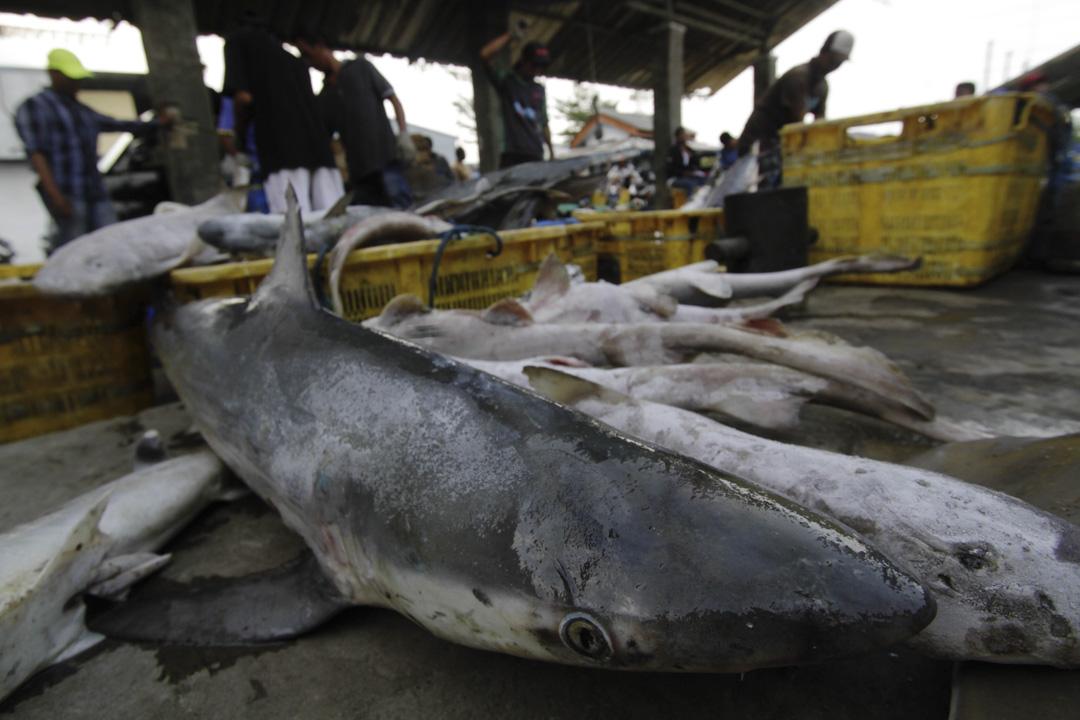 2017年11月13日,印尼漁民整理魚獲,將之送往雅加達的漁市場。