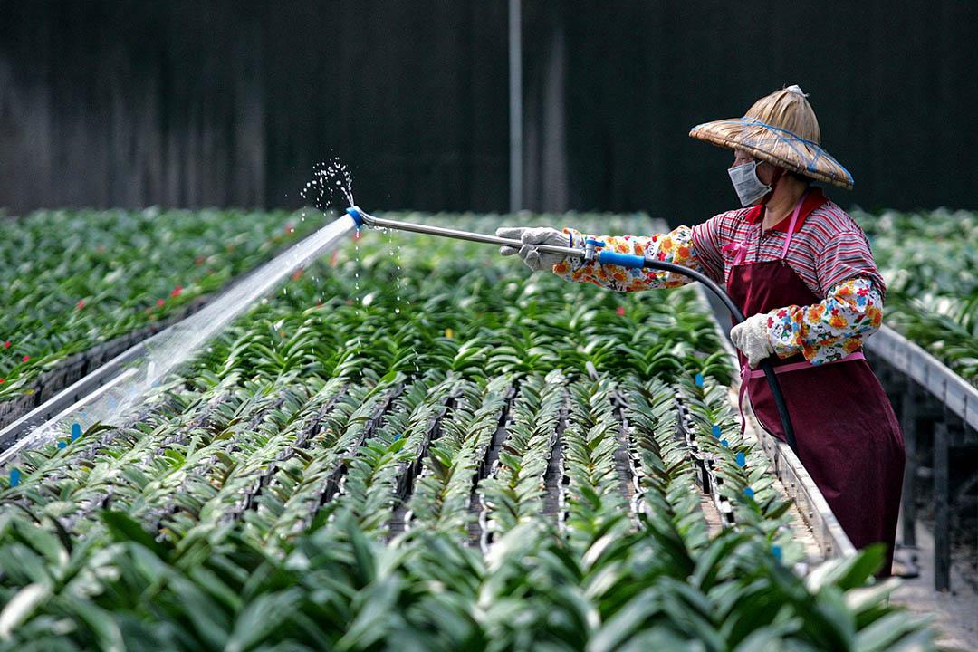 2005年4月12日台南,一名婦女在一個花卉農場中工作。