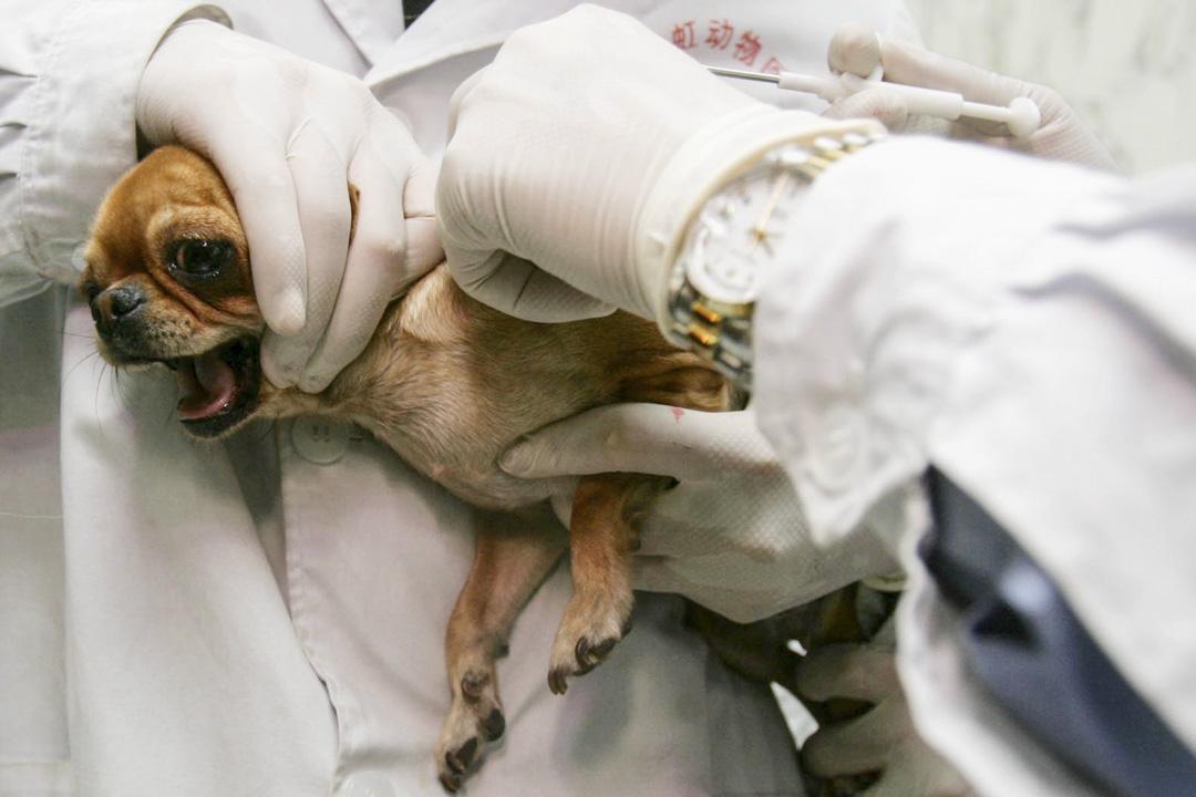 2007年5月1日,北京一名獸醫爲狗植入芯片。