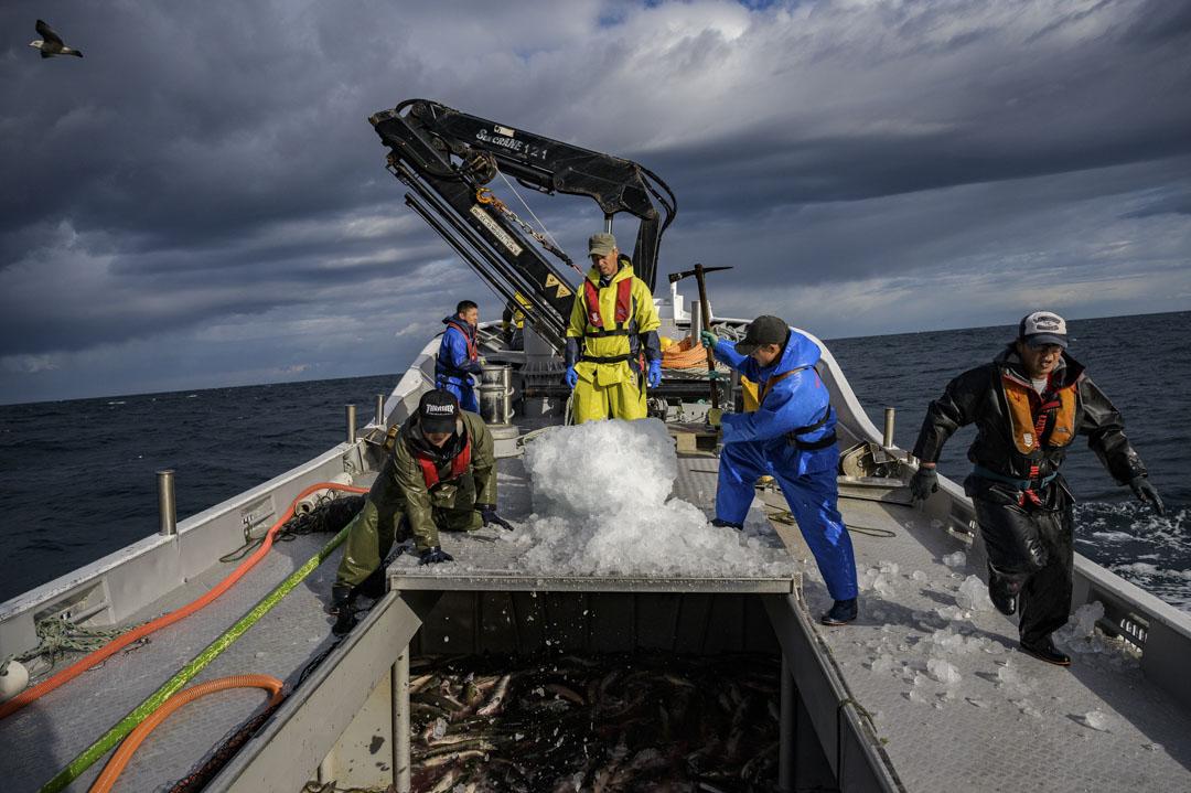 2019年9月25日,日本北海道的漁民捕撈鮭魚。