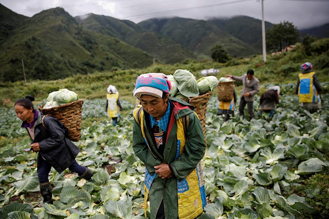 2020年9月10日四川省涼山彝族自治州,一個蔬菜種植基地內一名穿著少數民族服裝的婦女帶著白菜搬運到卡車上。