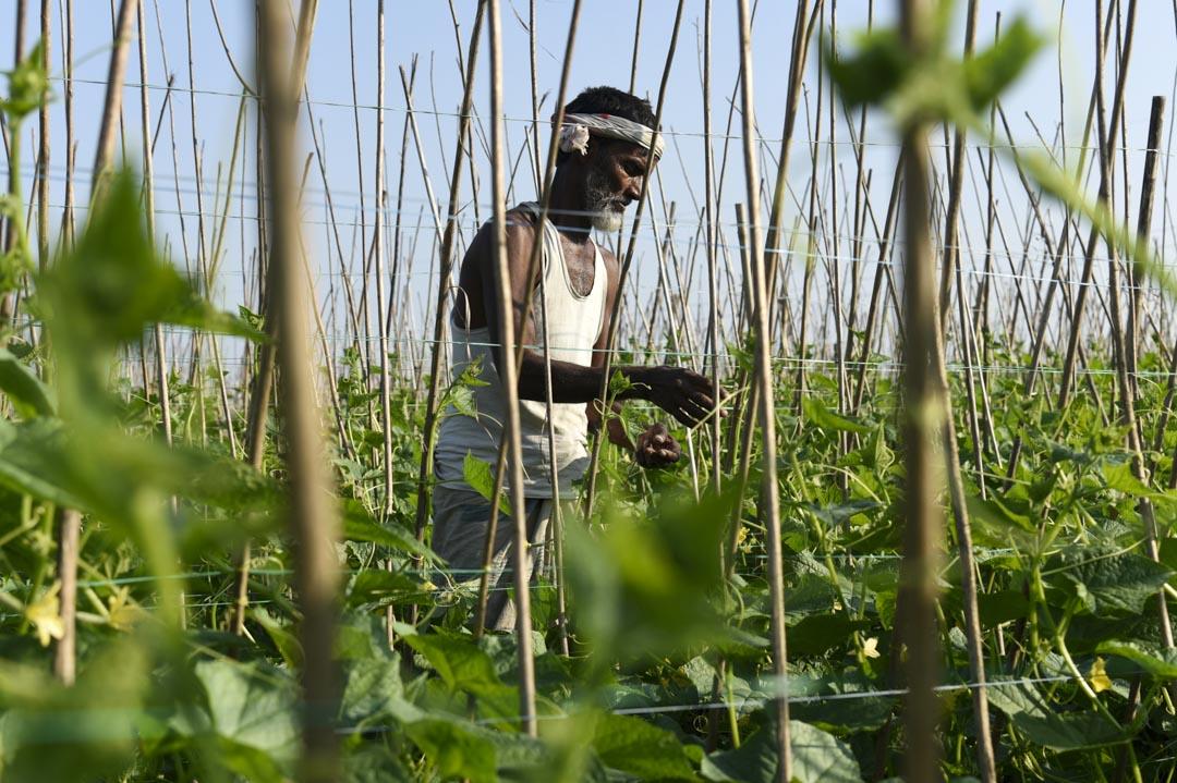 2020年12月8日,印度阿薩姆邦的農民在黃瓜農場工作。