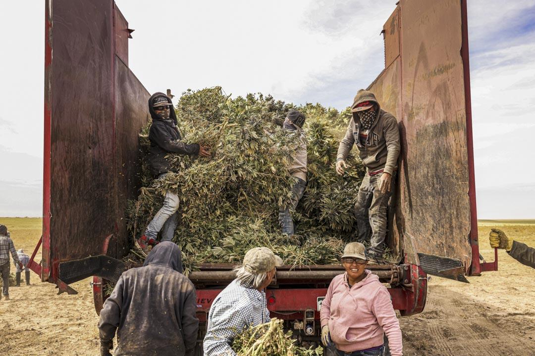 2020年10月14日,美國科羅拉多州一個大麻種植場。 攝:Michael Ciaglo/Bloomberg via Getty Images