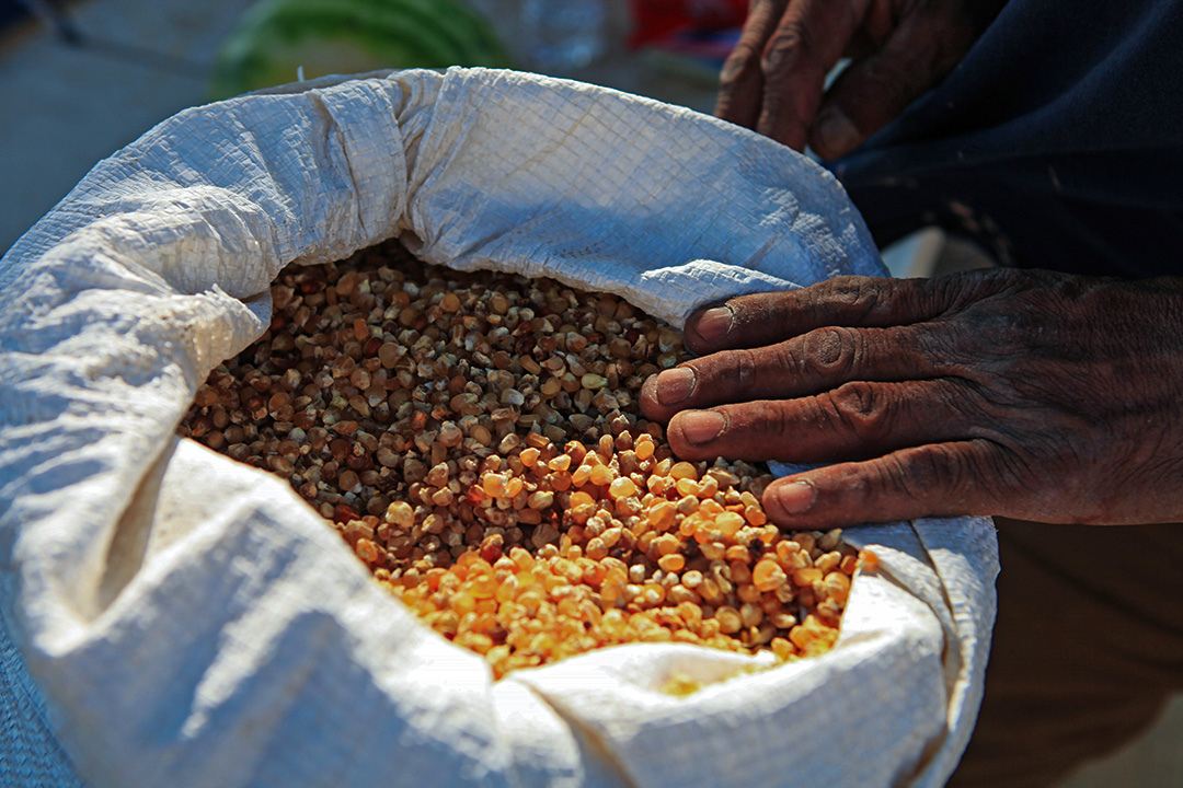 在原住民保留地上,納瓦霍人依靠旺盛的水汽和每年超過300天的日照種植玉米、瓜類、蔬菜和餵馬的苜蓿。