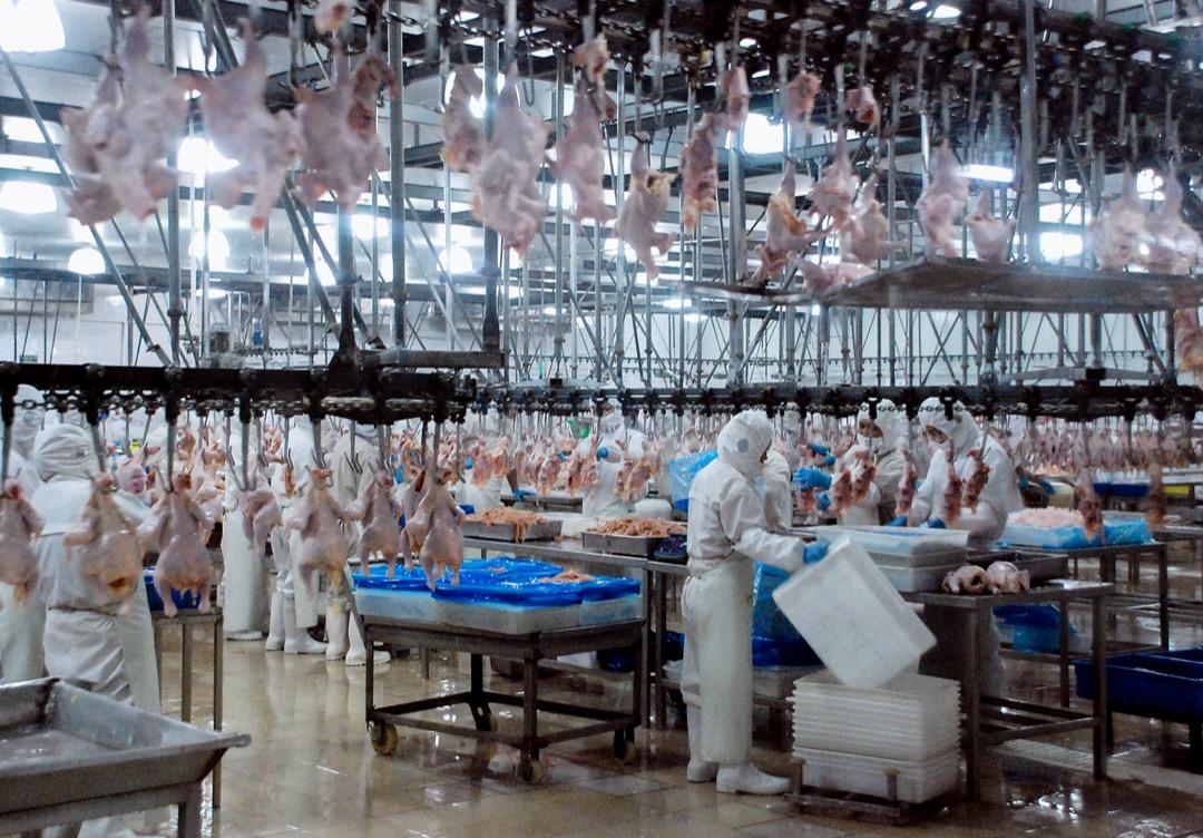 2009年,河南湯陰縣,一家宰雞工場。