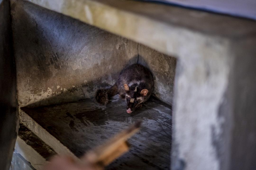 世衛調查人員目前已確定了兩種可能攜帶病毒的動物:鼬獾和兔子,它們曾在出現許多早期病例的一個中國市場販售。 圖為鼬獾。 攝:Linh Pham/Getty Images