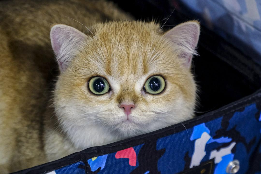 2020年10月24日,遼寧一個寵物博覽會,貓正凝視著鏡頭。