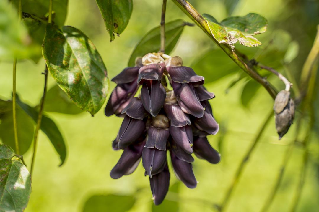 「紫花油麻藤」被列為瀕危植物,花朵長出來時很像一簇簇紫色、胖胖的禾花雀堆在樹上,所以又名「禾雀花」,「好漂亮的」。