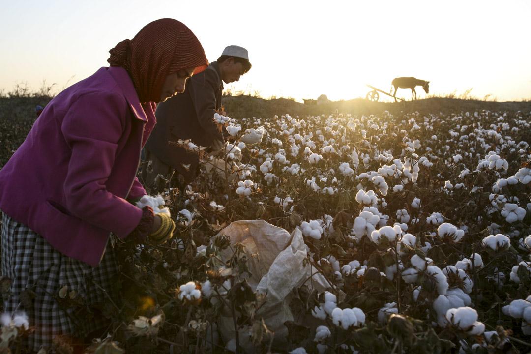 2005年10月20日,新疆維吾爾自治區麥蓋提縣,新疆人在棉花田工作。 攝:Chien-min Chung/Getty Images