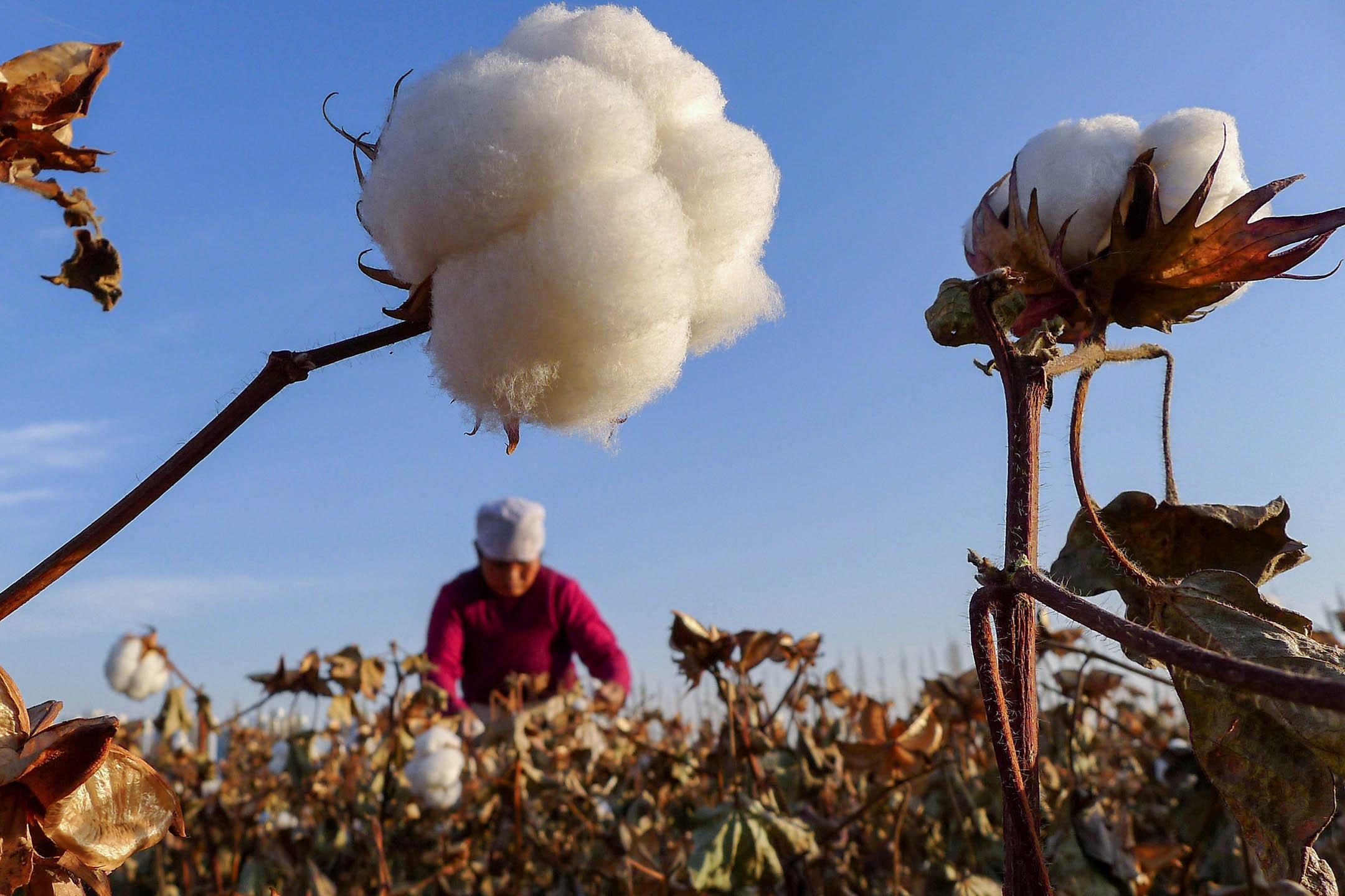 2012年11月1日中國新疆維吾爾自治區哈密市,一位農民在一塊田裡採摘棉花。 圖:China Daily/Reuters/達志影像