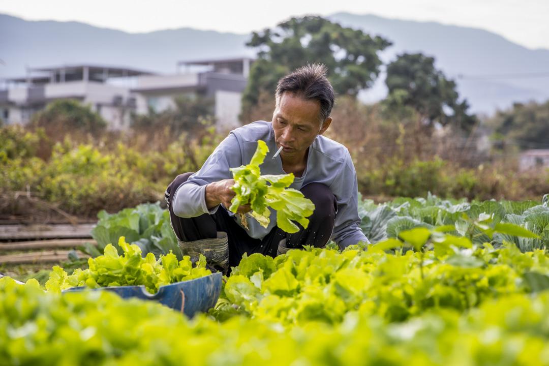 文哥是蕉徑土生土長的農二代,2008年回到蕉徑耕作做農夫。