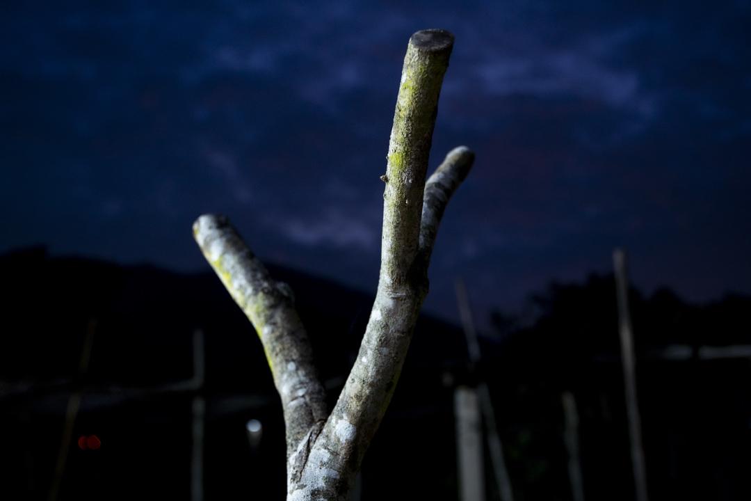 蕉徑的樹木。
