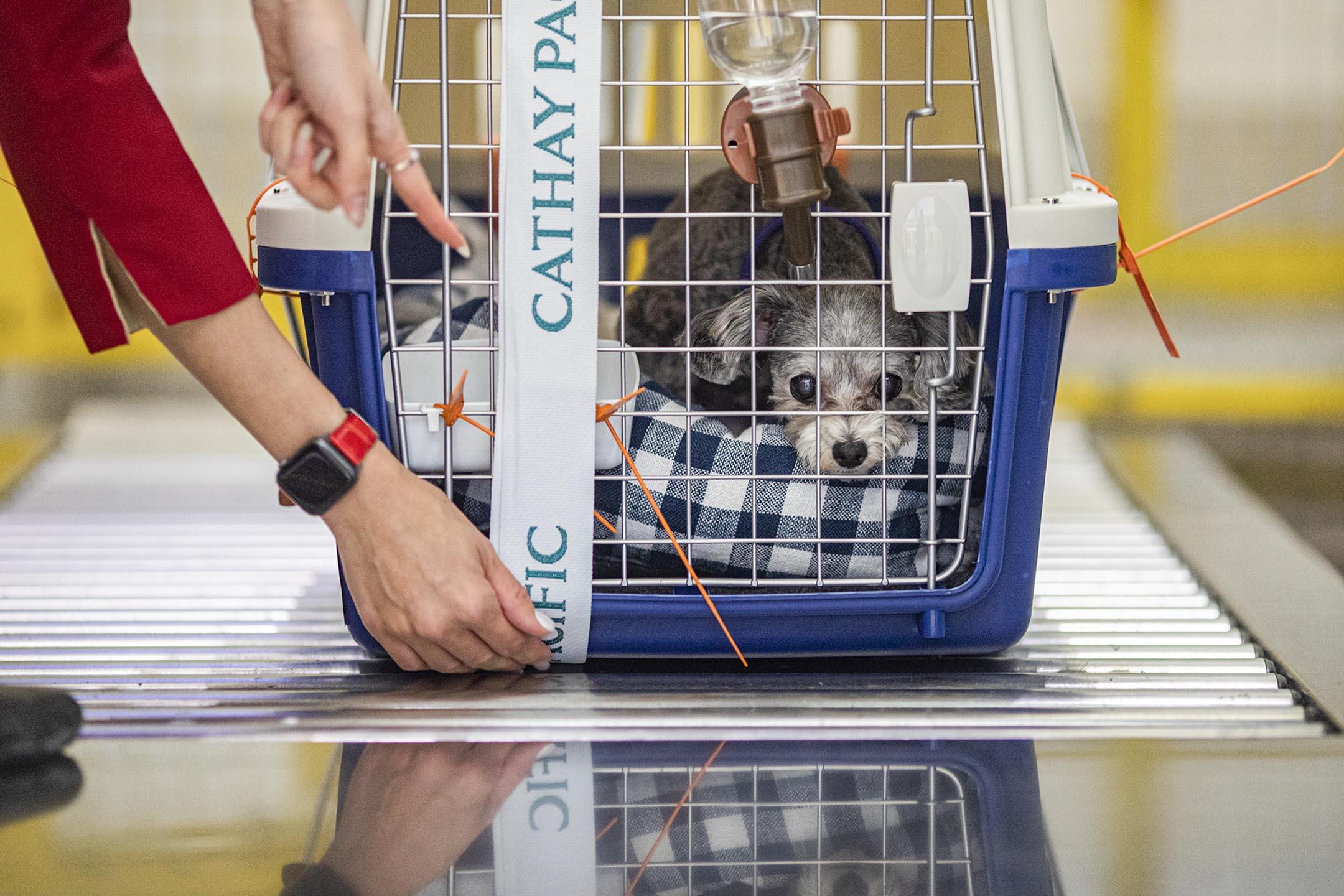 2021年2月25日香港國際機場,Florence的愛犬芝麻準備登機。