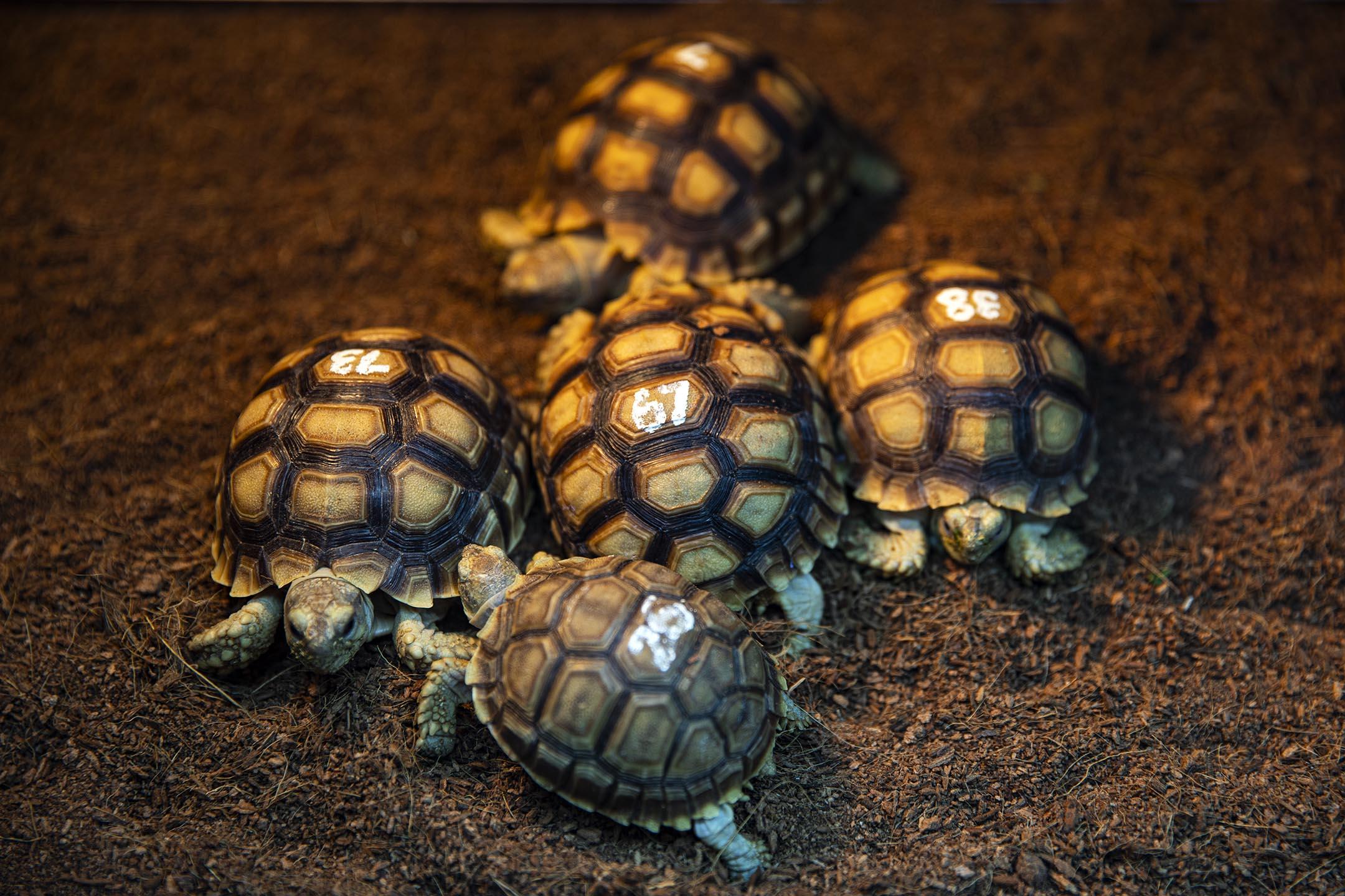 香港兩棲及爬蟲協會內被遺棄的龜。