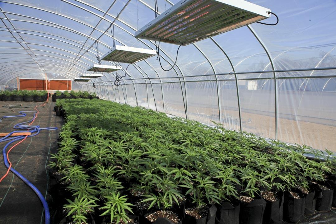 俄克拉荷馬州的大佛農場(Big Buddha Farm)裏,一間大棚裏生長的大麻作物和恆温監測裝置。