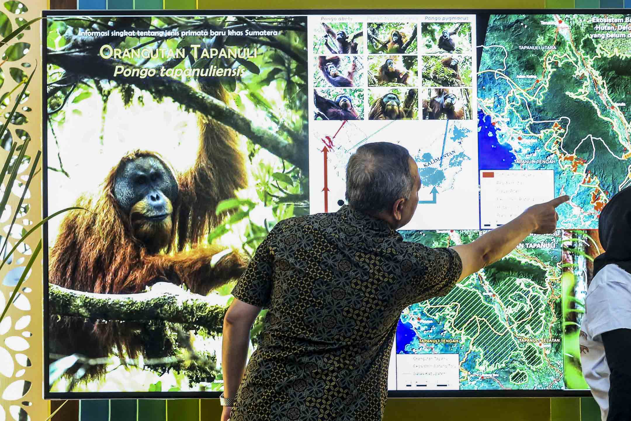 2017年3月3日,印尼林業部Wiratno中心的一名負責人在屏幕前解說,打巴奴裏猩猩的生育率很低,並對外界影響極其敏感,現存種群數量僅800只左右,建設中的水電站巴丹託魯(Batang Toru)的建設會直接導致該瀕危物種的滅絕。 攝:Tatan Syuflana/AP/達志影像