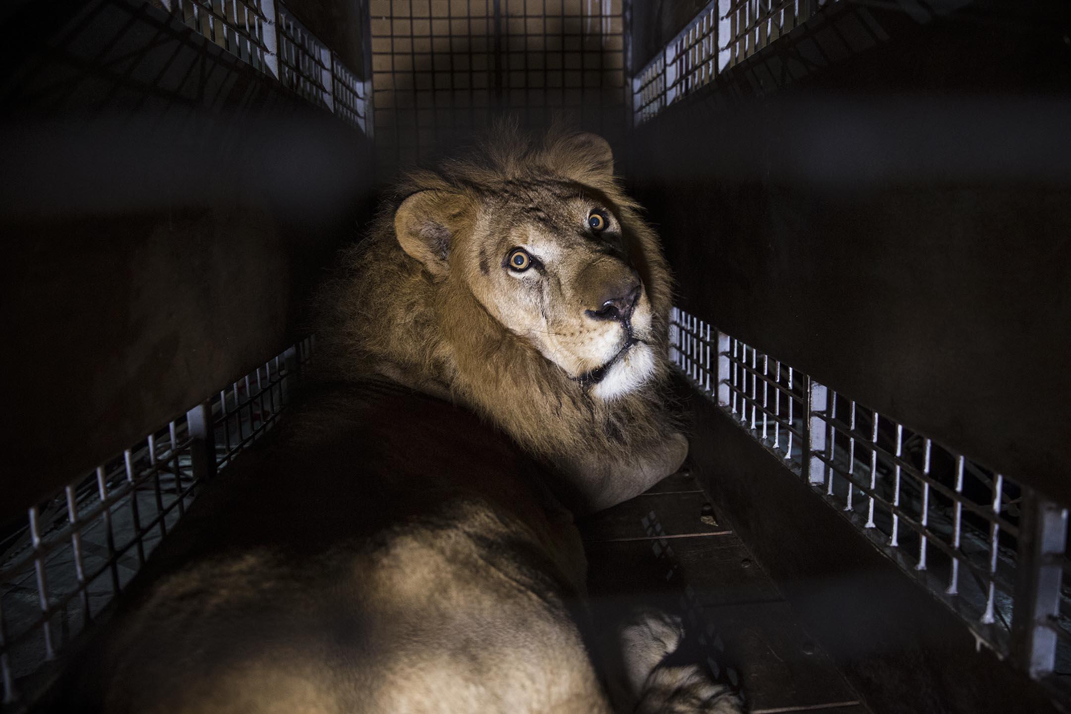 2019年12月9日,一頭獅子從烏克蘭動物園被送到南非野生動物保護區。 攝:STR/NurPhoto via Getty Images