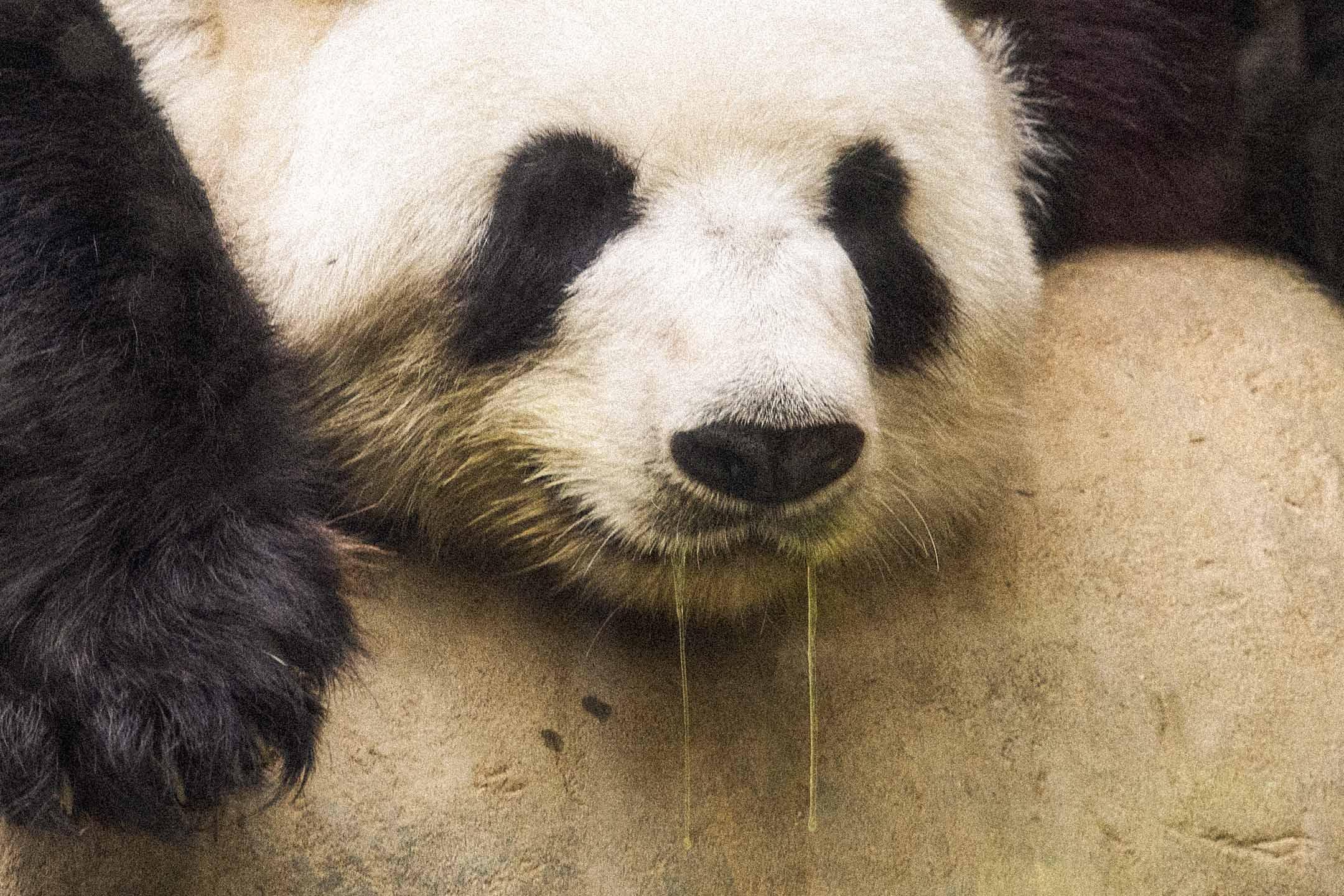 2021年3月16日,熊貓在館内睡覺。