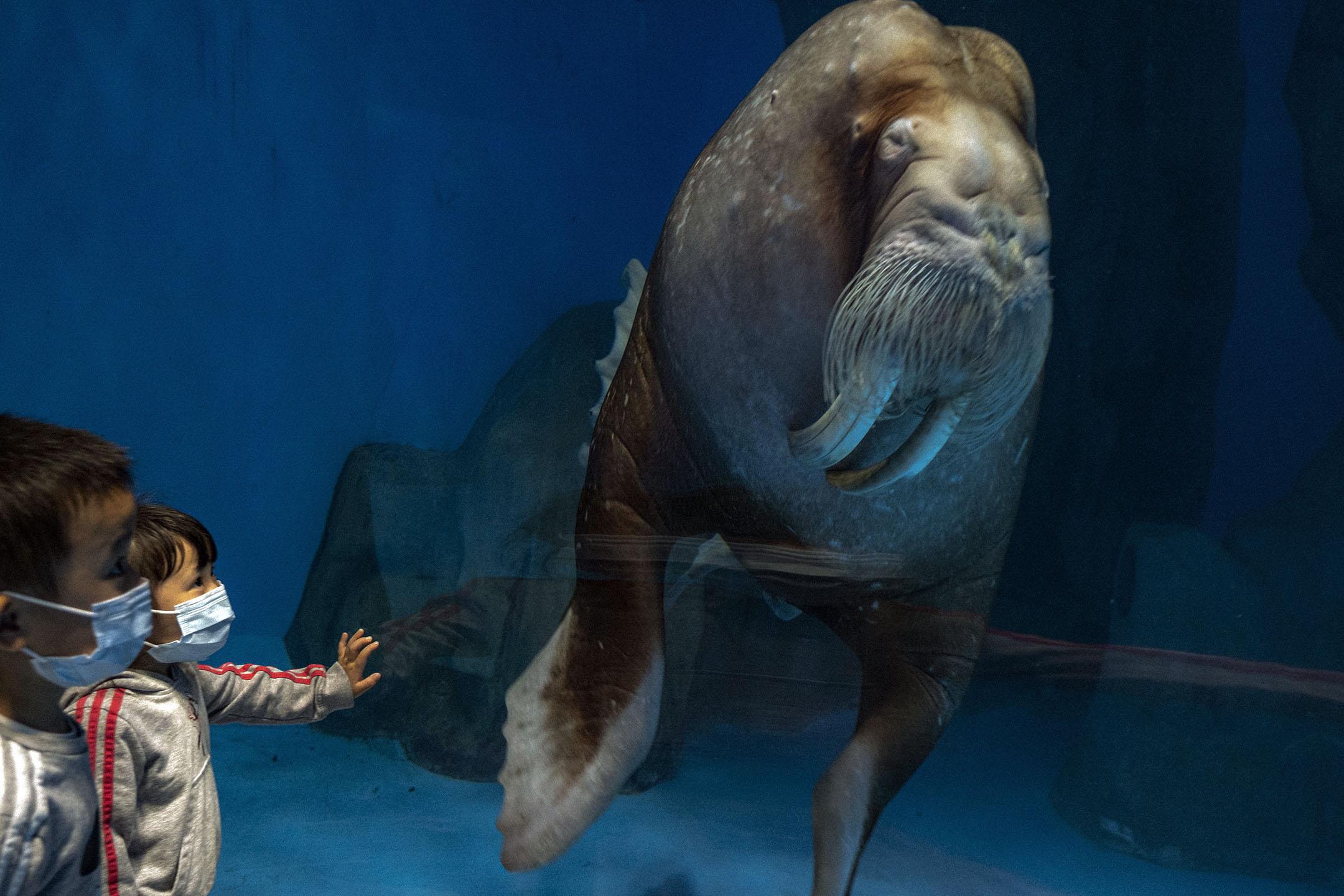 2021年3月27日,水族館内一隻海象。