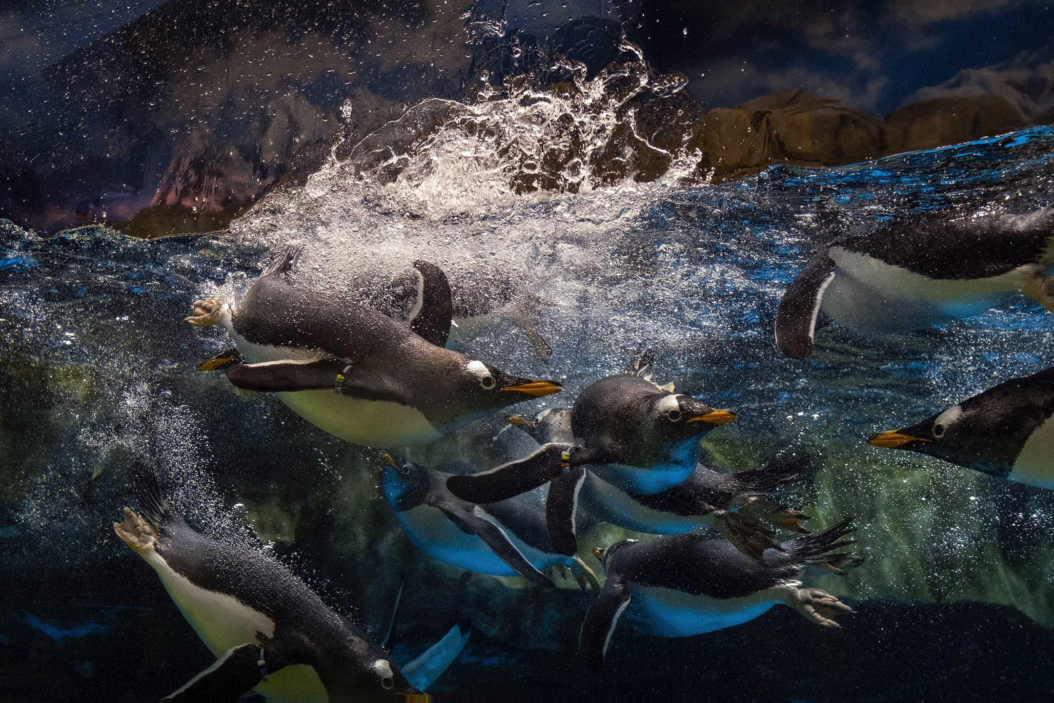 2021年4月25日,企鵝在餵飼時間下水。