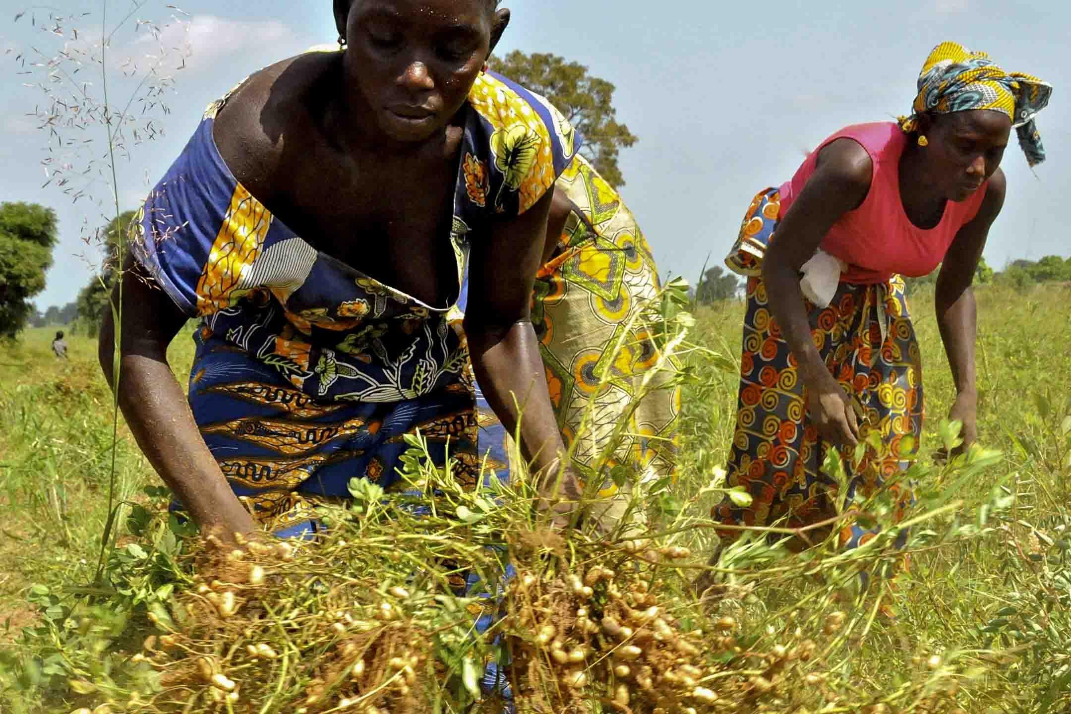塞內加爾農民正進行花生的採收工作。 攝:Michel RENAUDEAU/Gamma-Rapho via Getty Images