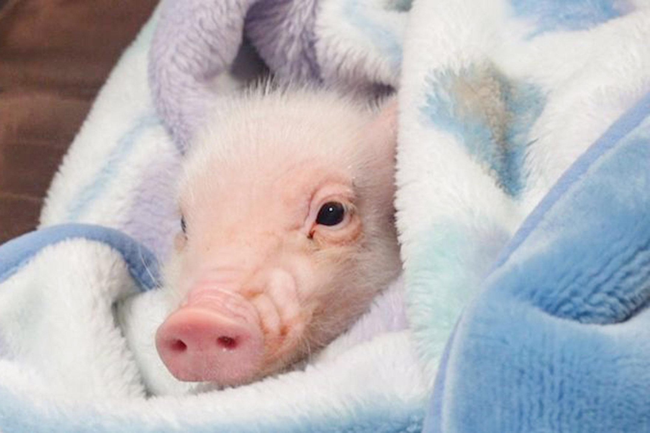 日本 YouTuber 開設小豬頻道「100 天後吃的豬」。 圖:網上圖片
