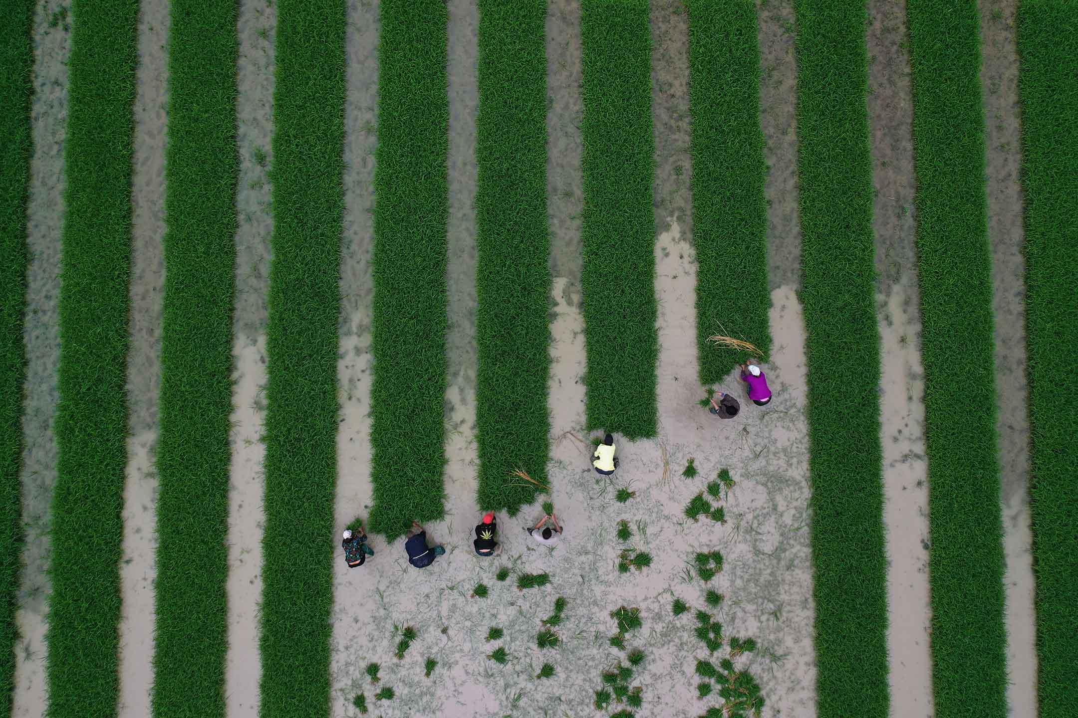 2021年5月24日,重慶農民在梯田中分揀稻苗。