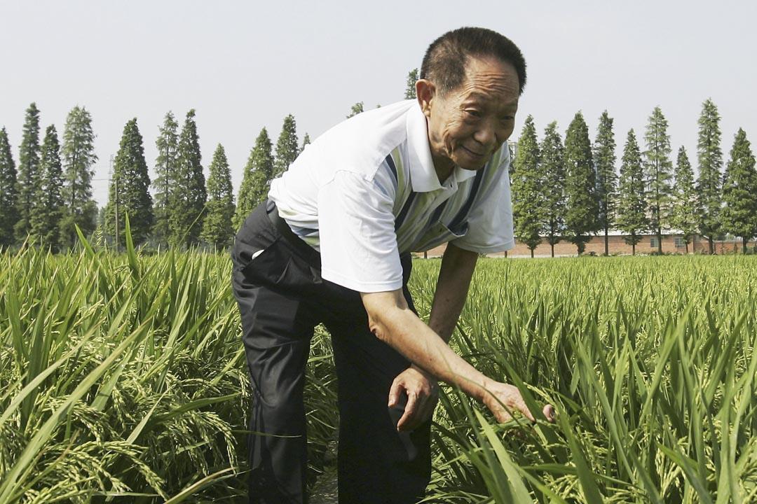 2004年6月20日,袁隆平在湖南長沙的雜交水稻種植場。 攝:Guang Niu/Getty Images