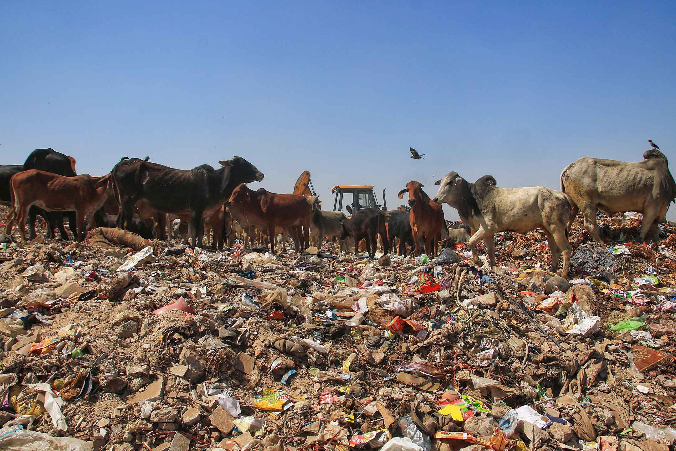 2021年4月7日印度齋浦爾的垃圾場,牛在一堆垃圾中尋找食物。