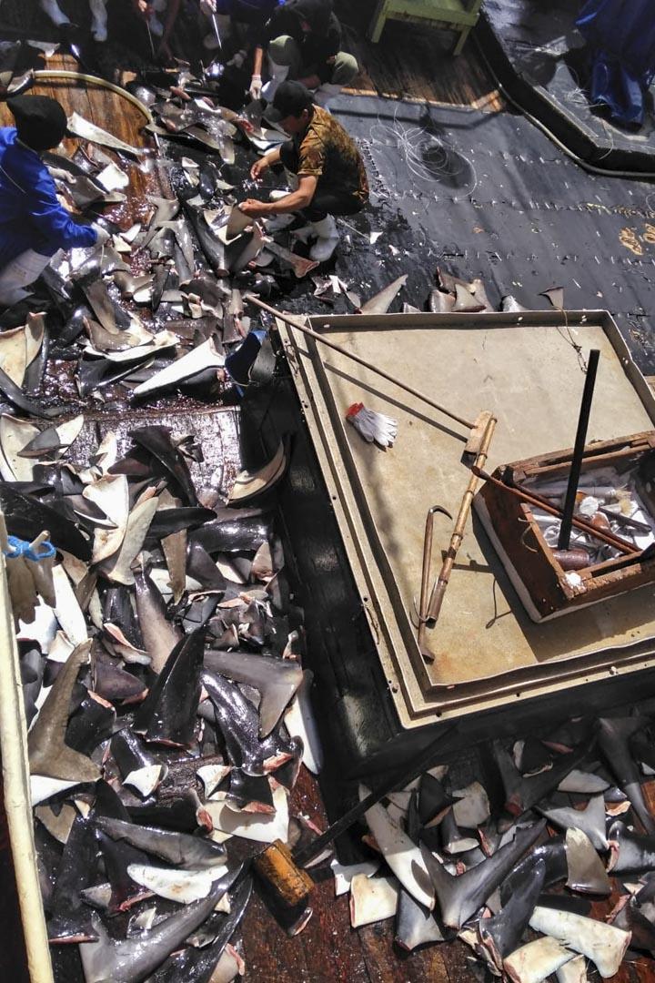 魚翅散落在「隆興629號」的甲板上。 在船上的13個月裡,漁工們將所捕獲的魚翅裝滿了約 20 個大型塑料容器,每個容器的總重量約為40至50公斤。