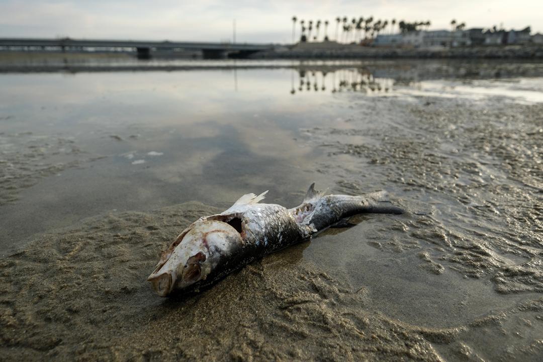 2021年10月4日,美國加州南部奧蘭治縣對開鑽油台發生漏油事故後,一條死魚擱淺在沙灘之上。 攝:Ringo H.W. Chiu / AP Photo