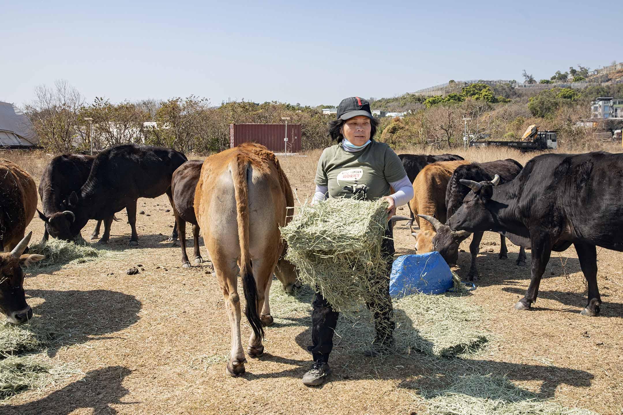大嶼山愛護水牛協會主席何來。