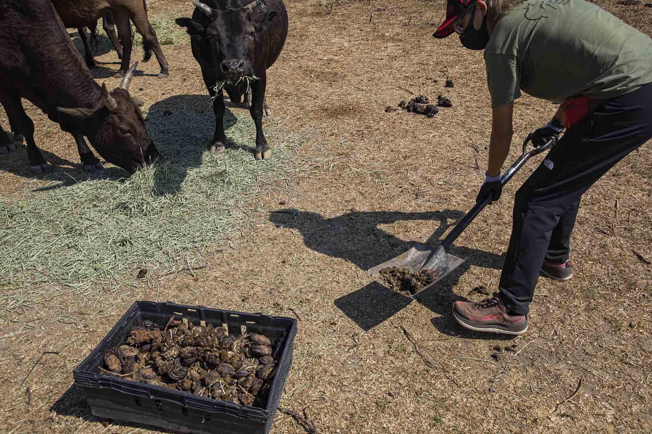 義工們會收集牛糞作肥料。