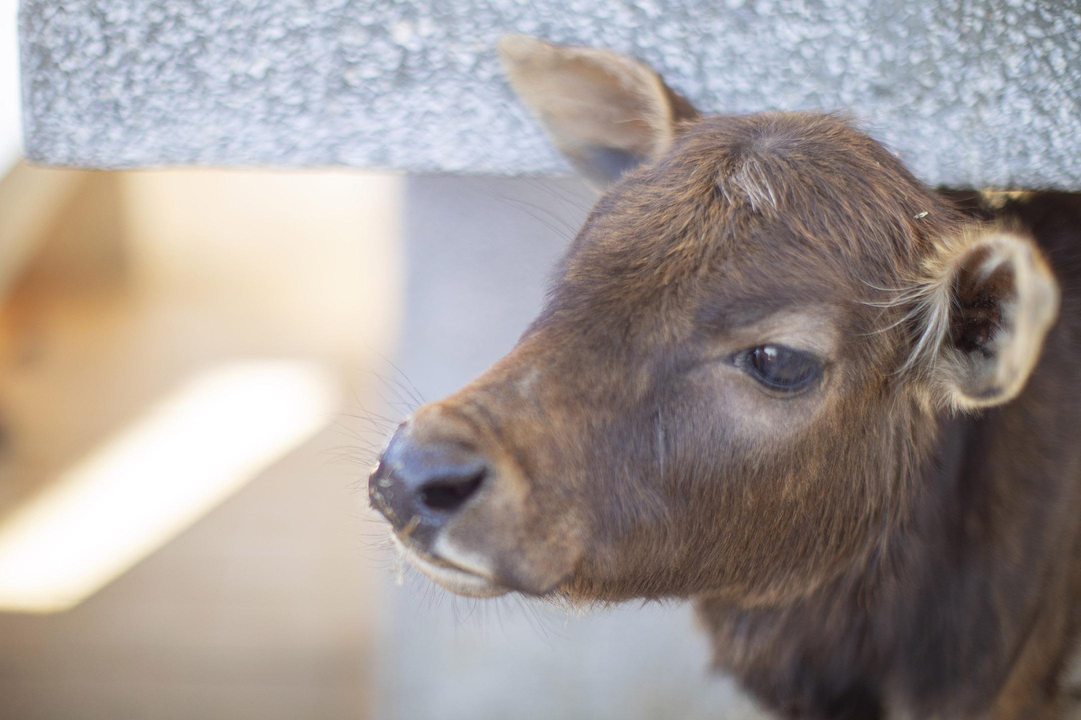 塔門上的幼牛。