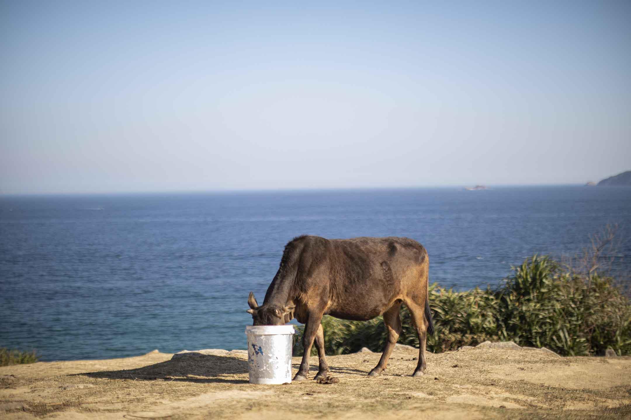 一隻牛在喝水。